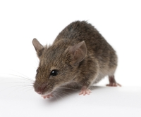 """""""Reprogrammed"""" Cells in Mice Reverse Late-stage Type 1 Diabetes"""