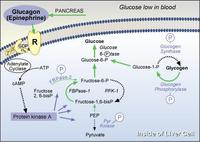 Glucagon Study Shows Promise for Type 1s
